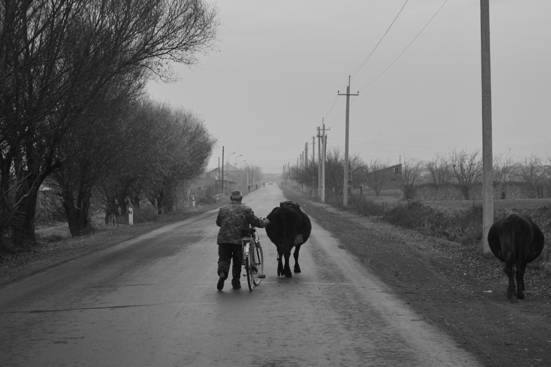 Farmer walks cows along a main road, near Khor Virap