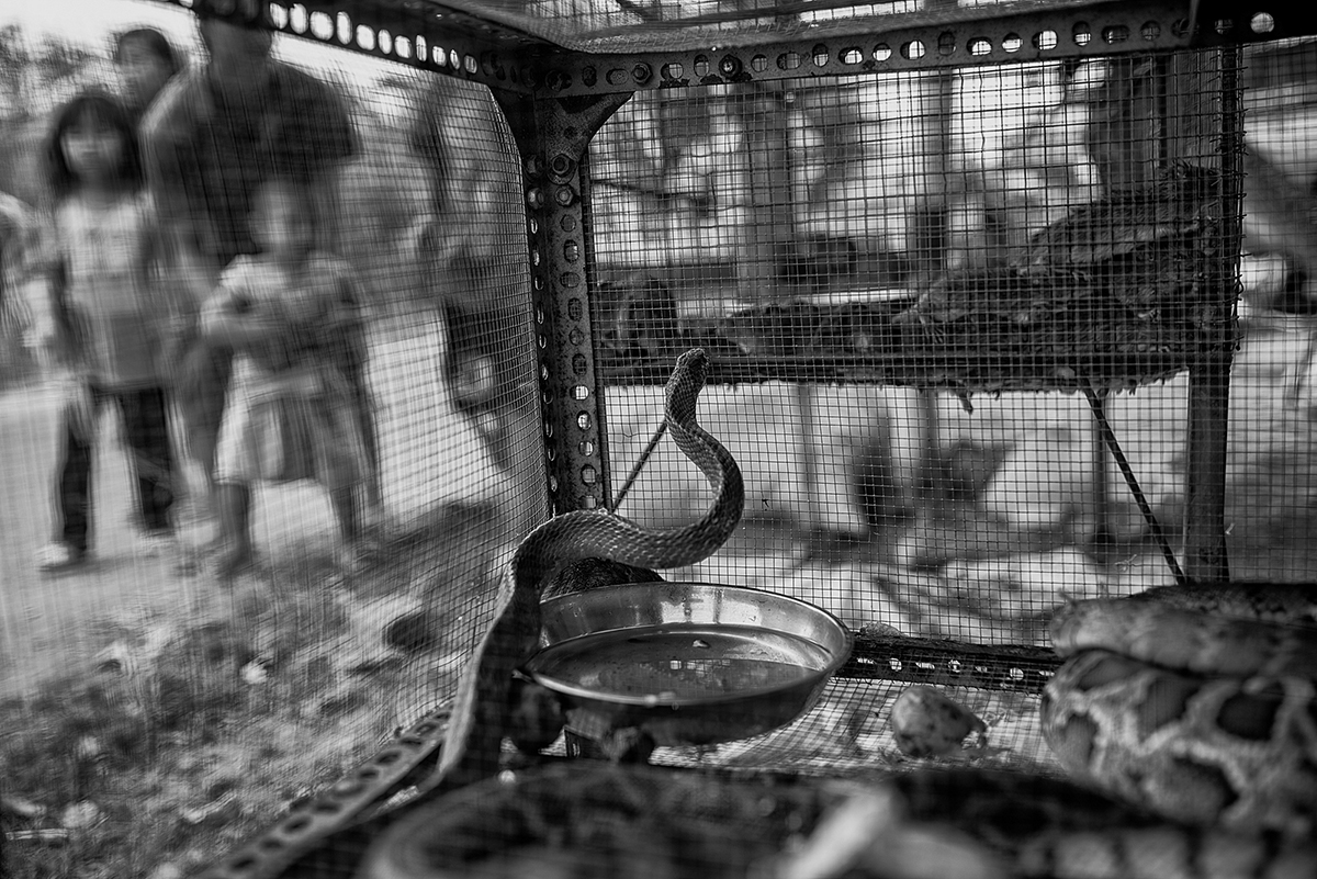 A snake eyes a cage of mice