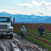 Skagit Valley Tulip Workers #1