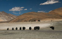 Yaks are used by the Changpas as packing animals and as dependable sources of milk, hide and meat